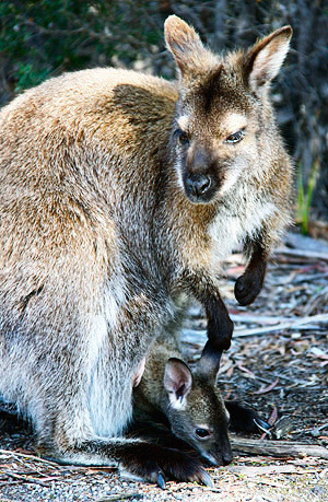 Photo tour image of a Wallaby and her Joey, Tasmania, Australia