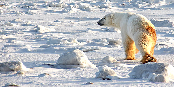 Polar Bear photo tour image near Churchill, Manitoba, Canada