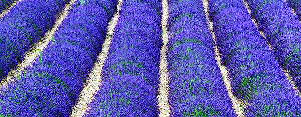 Provence lavender season image, France, on a photography tour