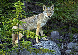 Coyote, Jasper National Park, Alberta