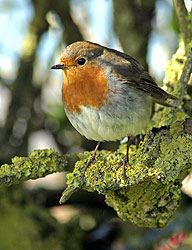 English Robin - Strictly copyrighted John T. Baker Photographer LLC, JayBee Stock.com