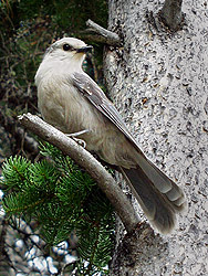 Gray Jay, Yellowstone NP, Wyoming
