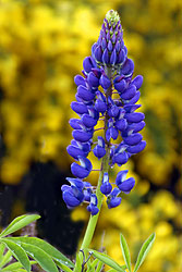 Wild New Zealand Lupine - Strictly copyrighted John T. Baker Photographer LLC, JayBee Stock.com