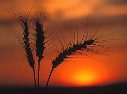 Silhouette of Wheat at sunset - Strictly copyrighted John T. Baker Photographer LLC, JayBee Stock.com