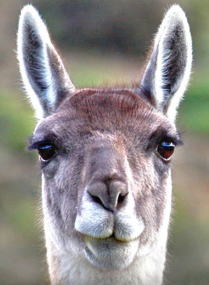 Patagonia photo tour image of a Guanaco close-up in Torres del Paine National Park, Chile