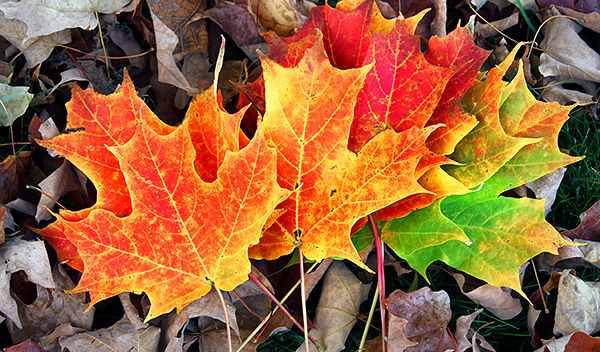 Maple leaf collection of colors, Vermont, New England