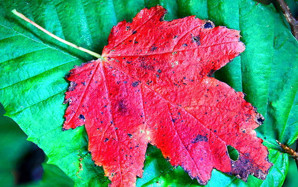 Red Maple Leaf, Vermont, New England