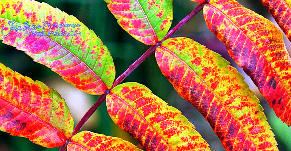 Colorful Sumac, Vermont, New England