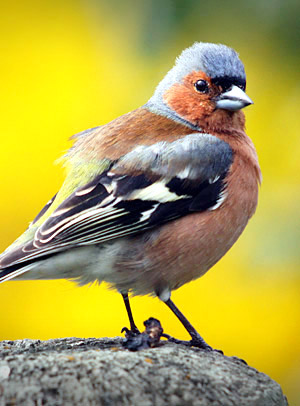 Chaffinch, South Island, New Zealand photo tour image